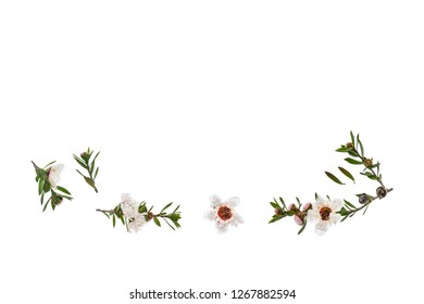 isolated white manuka flowers and twigs on white background with copy space above