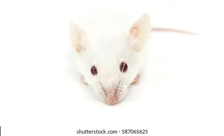 Isolated White Mouse on White Background