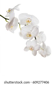 Isolated white orchids on a white background.