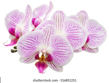 Isolated white pink striped orchid phalaenopsis on white background