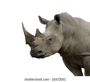 Isolated White Rhino