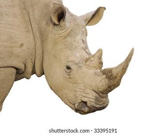Isolated White Rhino bull