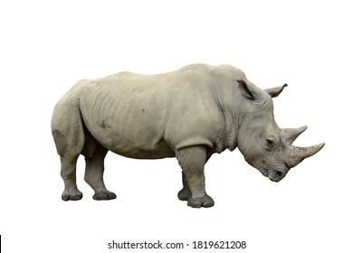 Isolated white rhinoceros. Ceratotherium simum. Profile pose