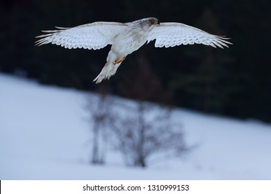 Isolated White Siberian goshawk,  Accipiter gentilis albidus, front view on rare, almost white hawk, bird of prey wirh outstretched wings,  flying in winter landscape.