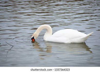 Isolated white swan on the lake in winter. Swan is drinking water.