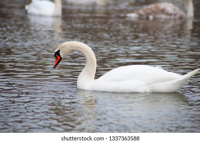 Isolated white swan on the winter pond.
