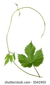 isolated wild hops shoot and leaf, background