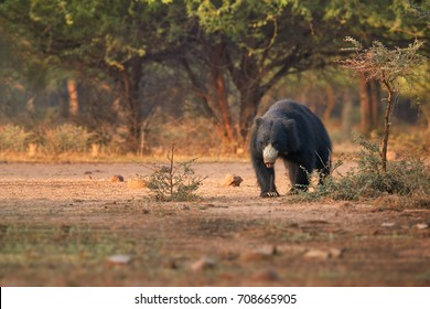 Isolated, wild sloth bear, Melursus ursinus in natural environment of dry forest. Insect eating bear with long claws walking directly at camera in beautiful light. Ranthambore national park, India.