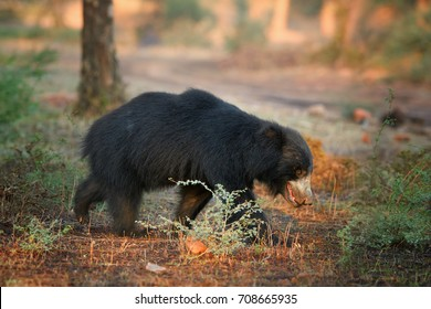 Isolated, wild sloth bear, Melursus ursinus in its natural environment of indian dry forest. Bear with long claws crossing dusty road in beautiful light. Wildlife in Ranthambore national park, India.