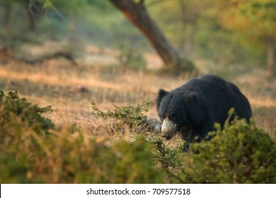 Isolated, wild sloth bear, Melursus ursinus in natural environment of indian dry forest. Close up bear with long claws walking directly at camera in beautiful light. Ranthambore national park, India.