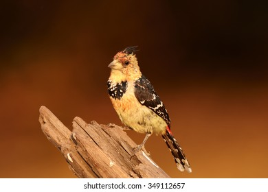 Isolated yellow and black Crested Barbet Trachyphonus vaillantii perched on old root in colorful late evening light. Dark orange distant blurred background.  Chobe river, Botswana
