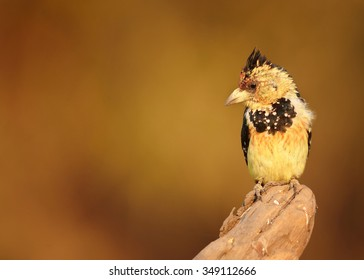 Isolated yellow and black Crested Barbet Trachyphonus vaillantii perched on top of old root in late evening light. Front view. Orange distant blurred background.  Chobe river, Botswana