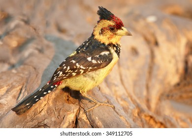 Isolated yellow and black Crested Barbet Trachyphonus vaillantii perched on old root in colorful late evening light. Side view. Orange distant blurred background.  Chobe river, Botswana