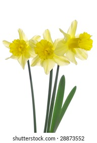 Isolated Yellow Daffodils Abstract Image