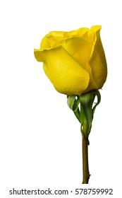 isolated yellow rose on white background