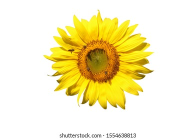 Isolated Yellow Sunflower Blooming And Natural Wild Bee Find Honey On Pollen On White Background