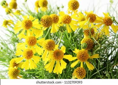 isolated yellow wild flower or Sneezeweed,Helenium amarum, Bitterweed, Bitter Sneezeweed, Yellowdicks,flower white background