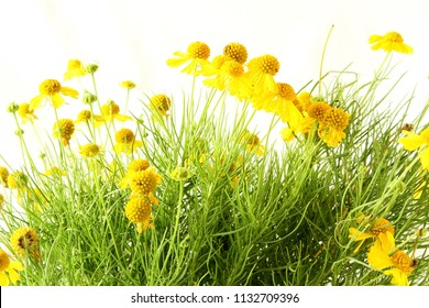 isolated yellow wild flower or Sneezeweed,Helenium amarum, Bitterweed,