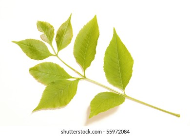 Isolated young green leaf of ash