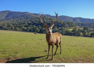 An isolated young male deer/red stag standing and looking at the camera on grass of a farm with green mountains view in distance.