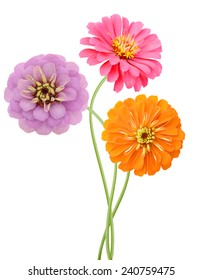 An isolated zinnia flowers in America
