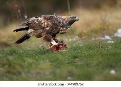 Isolated,adult and wild  Golden Eagle, Aquila chrysaetos, feeding on prey on a mountain meadow in Pyrenees against blurred autumn forest in background. Wildlife, ground level photo, Spain,Europe.