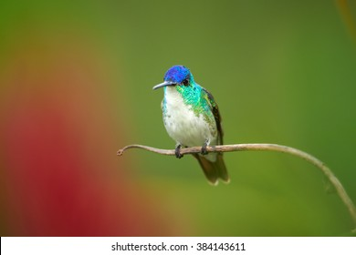 Isolated,vibrant bue and green hummingbird with white breast, Andean emerald, Amazilia franciae, perched on diagonal stem with drops of water against abstract red and green background. Colombia.