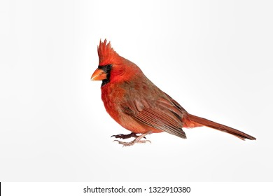 Isolation of Male Northern Cardinal on White