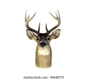 An isolation of a mounted Whitetailed deer head