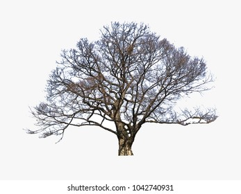 Isolation of tree with white back ground