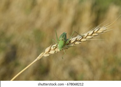 Isophia. Grasshopper is an isophy on a wheat spikelet. Isophya