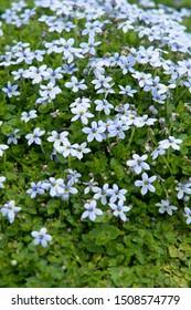 Isotoma fluviatilis blauwe grondkruiper syn Pratia pedunculata