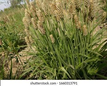 ispaghula psyllium, ispaghula beautiful plants