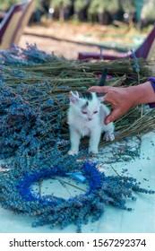 ISPARTA / TURKEY / JULY 5, 2017:  new born cute white cat is playing on levander flowers, KUYUCAK TURKEY