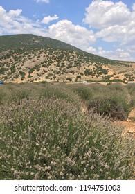 Isparta Turkey Lavanta Village. July 2018.  Lavender Valley close to the harvest.