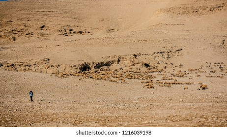 israel desert sheep