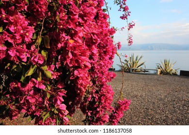 Israel, Galilee, Blossom tree with pink flowers at as hore of Kinneret  lake in Capernaum, fishing village, mentioned in the New Testament as a meeting place of Jesus Christ and Saint Peter.