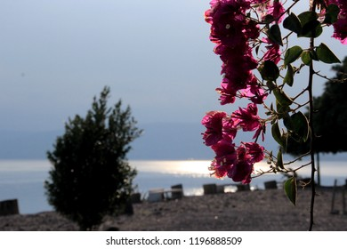 Israel, Galilee, Blossom tree with pink flowers at the coast of Kinneret  lake in Capernaum, fishing village, mentioned in the New Testament as a meeting place of Jesus Christ and Saint Peter.