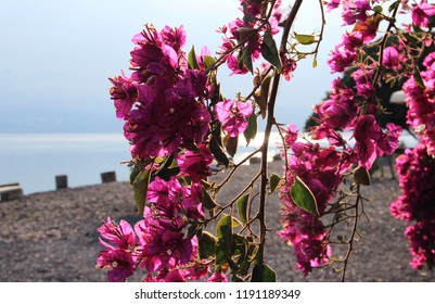 Israel, Galilee, Branch with pink flowers, at a rear shore of Kinneret  lake in Capernaum, fishing village, mentioned in the New Testament as a meeting place of Jesus Christ and Saint Peter.
