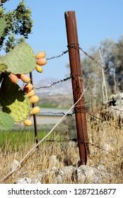 Israel, Negev, Lachish region, Cactus - Opuntia ficus-indica - sabres or Tzabar Israeli symbol