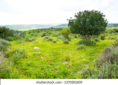 Israel in springtime. Scenic Beit Guvrin landscape with green hills, fields and blooming rape and poppy flowers. Spring vacation travel background.