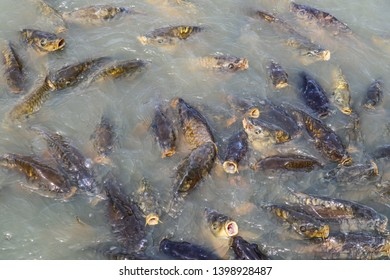 Israeli Carp, White Amur, Bream, Catfish and Hybrid Bass waiting to be fed in the water of Broadway on the Beach in Myrtle Beach, South Carolina.