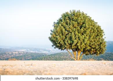 Israeli tree on Mount Azeka, Judean Mountains.