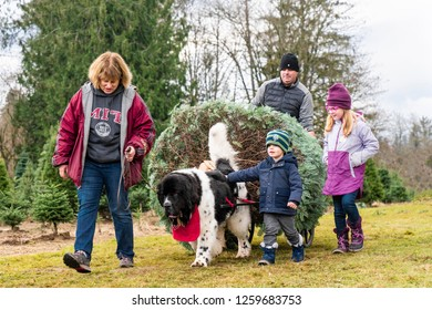 Issaquah, WA, USA - December 2, 2018:  Middle-aged woman leading working Newfoundland dog pulling tree at Christmas tree farm for family.