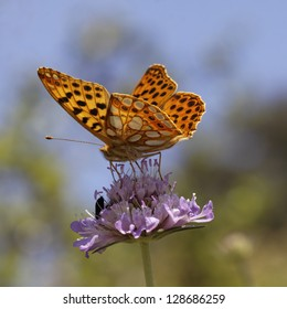 Issoria lathonia, Queen of Spain fritillary on scabious bloom in Southern France, Europe