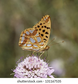 Issoria lathonia, Queen of Spain fritillary from Southern France, Europe
