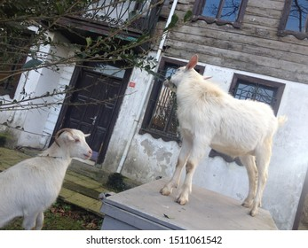 Istanbul / Turkey 2 january 2016: goats in front of the house Polenezköy