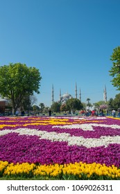 ISTANBUL, TURKEY-APRIL 28, 2017: Sultanahmet Blue mosque in the background with blooming tulips in the foreground during 2017 Istanbul Tulips Festival.