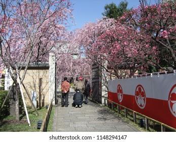 Itabashi, Tokyo / Japan - April 1, 2008 : Nanzoin Temple where weeping cherry trees (shidare-zakura) are in full bloom