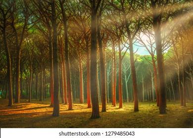 Itaian Maritime Pine tree misty forest or pinewood, Marina di Cecina, Maremma, Tuscany, Italy.
